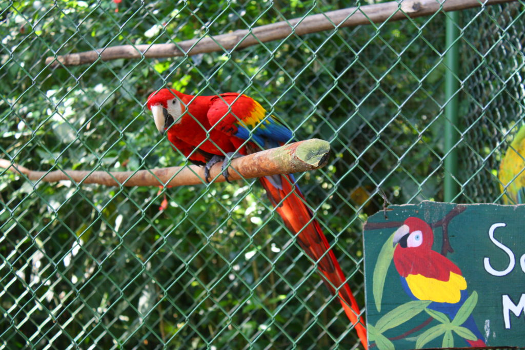 Parrot at Proyecto Asis in Arenal, Costa Rica