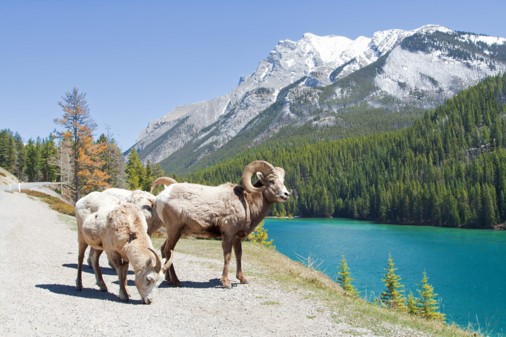 Mountain Bighorn Sheep on Lake Minnewanka, Canadian Rockies, Alberta