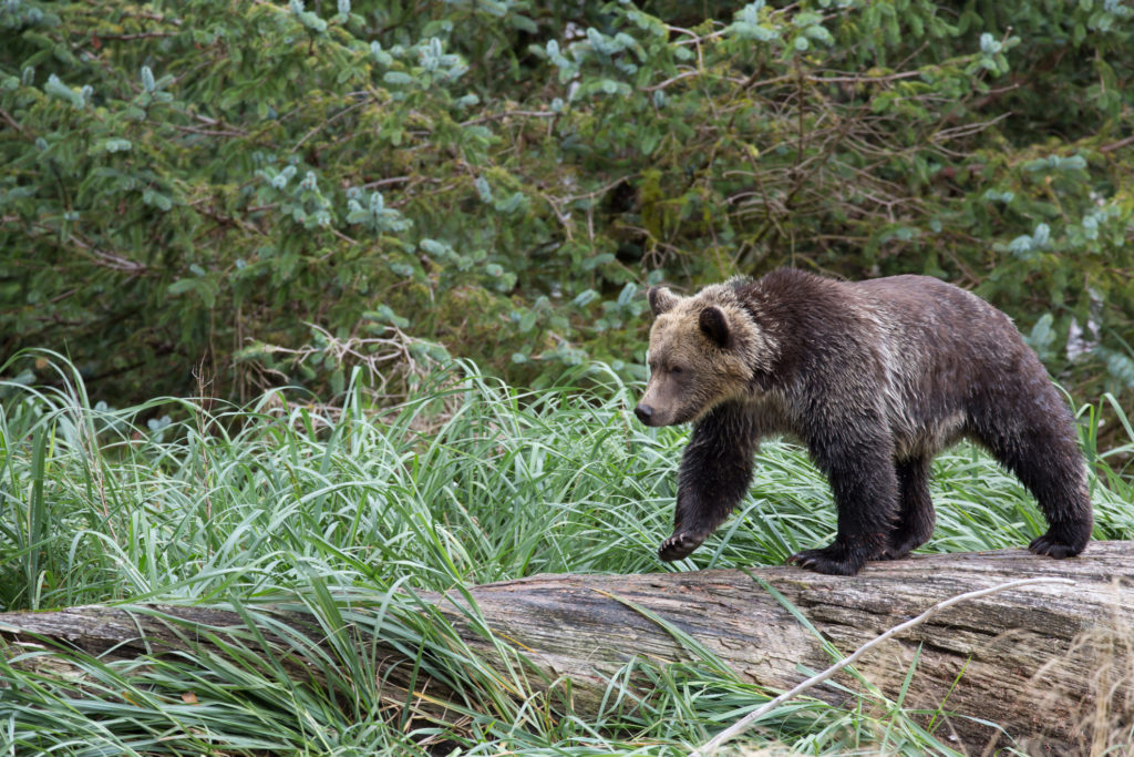 Grizzly bear in the wild near Banff National Park, Alberta, Canada