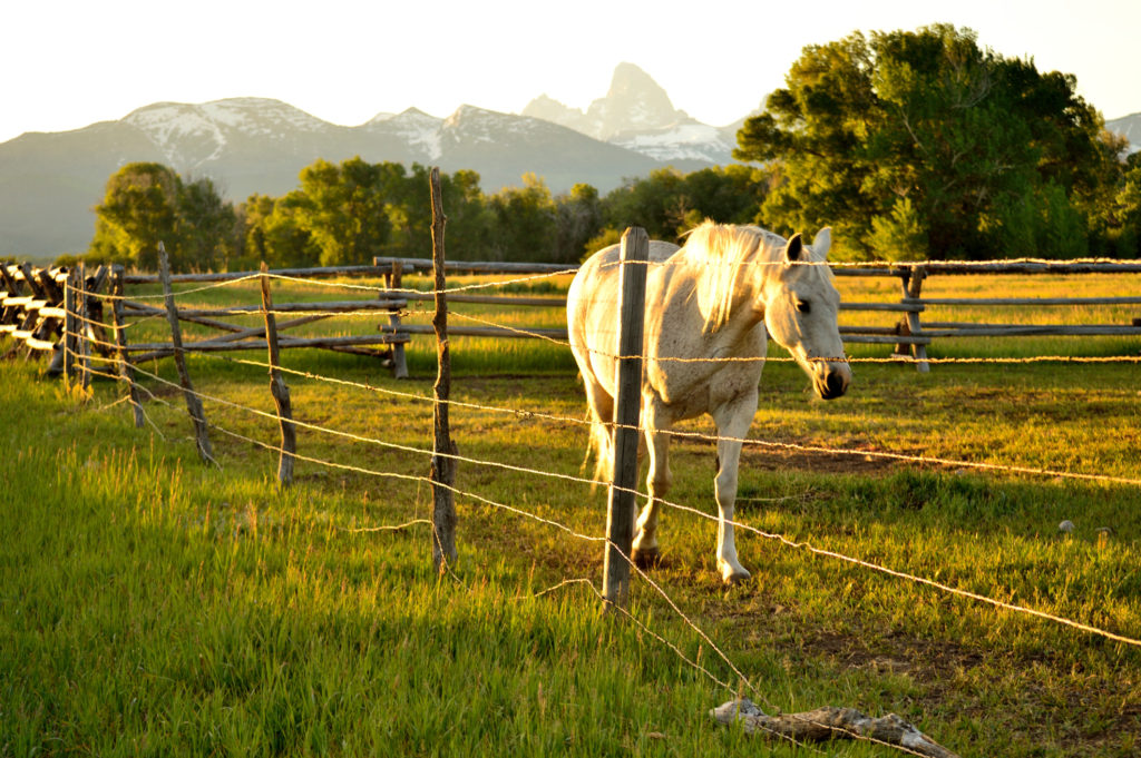 Horse along fence in Teton Valley, Idaho
